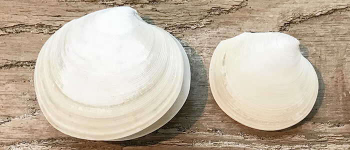 Two Disc Dosinia Seashells