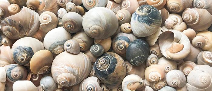 Moon Snail Shells