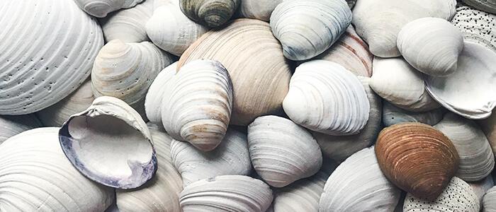 Quahog Shells