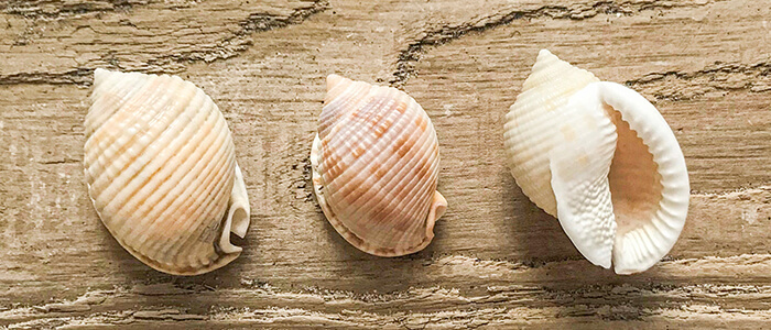 Scotch Bonnet Shells